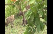 永世仇敌:非洲二哥鬣狗狮口夺食,这就是挑衅一哥作死的下场!