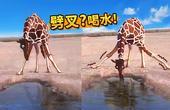 长颈鹿原来这样喝水?