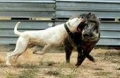 狗中最强王者 连野猪都咬 还能狩猎凶猛美洲狮 比特藏獒比它强?