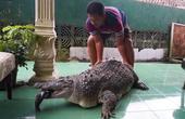大叔在后院养了条鳄鱼,虽然伙食开支很大,也一定要喂饱饱