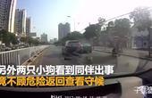 【安徽】感人!狗狗横穿马路被车碾压 同伴不顾危险返回守护