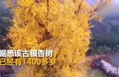 壮观!千年古银杏树成网红 参观还需预约