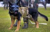 军犬执行任务时战斗力爆表