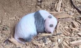 涼山首次發現野生大熊貓幼崽