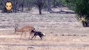野狗到底有都厉害,看看这只羚羊的下场就知道