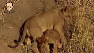 大自然有多残酷,就连狮子药品是失去双腿,都