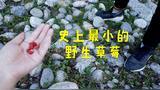 这么小的草莓你见过没?新疆琼库什台旅行vlog #说走就走的旅行