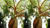 能活5000年的倒立面包树 植物界的老寿星