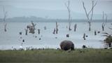 搜狐纳瓦沙湖 河马与水鸟的大本营