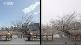 日本旅游业遭新冠疫情重创 樱花季格外冷清