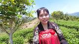 实拍福建万亩生态茶园,不打农药却没虫害,出产的茶叶被抢着买!