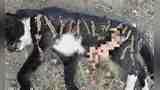 太香了?野猫被噎死,胃内竟发现17只死蜥蜴,都还未消化