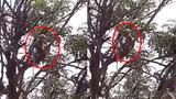 新冠病毒检测样本被猴群抢走:一猴端坐树杈撕咬后消失 引恐慌