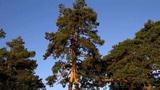 """内蒙古最""""不正经""""的两棵树,紧紧长在一起,女人看了脸红跑开"""