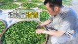 探秘福建铁观音加工厂,200斤茶叶铺在院子里晒青,场面很壮观!