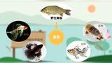【生物大师 高中必考】基因重组朱砂鱼谱