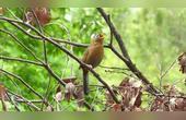画眉鸟悠游林中自在啼唱