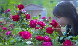 玫瑰花的一生?