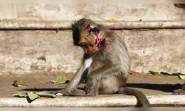 可怜小猴阿里卡脸部受伤很严重,它甚至没有力气跟着妈妈到处走动