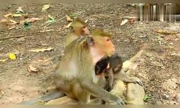 猴妈以为猴姐()欺负猴妹(),怒气攻击猴姐,太狠了