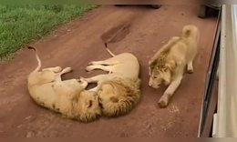 现在不吃狗粮了,居然狮子也秀起了恩爱,刚分手的我看上去好难受!