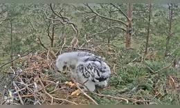 在鹰巢的小鹰无聊,树枝成了玩伴,看来独生子也寂寞