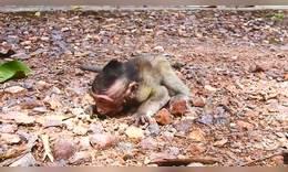 可怜的小猴子被妈妈狂虐抛弃后,跑到小伙伴怀里哭泣!
