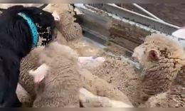 牧羊犬每天艰辛的工作在羊群里就是领导,把它们按规定驱赶!