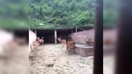 狼武公司养鹿场