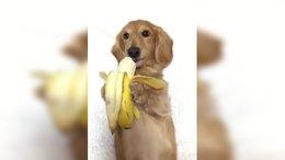 金毛宝宝吃香蕉的样子真是太可爱了!