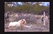 白狮子被十多只鬣狗围攻,霸气应战,不愧是王