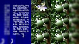 西番莲 百香果yyx