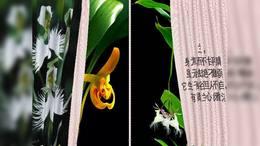 高洁典雅的兰花yyx
