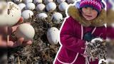 在北极没有鸡蛋怎么办,因纽特人有绝招:全靠大雁产卵?