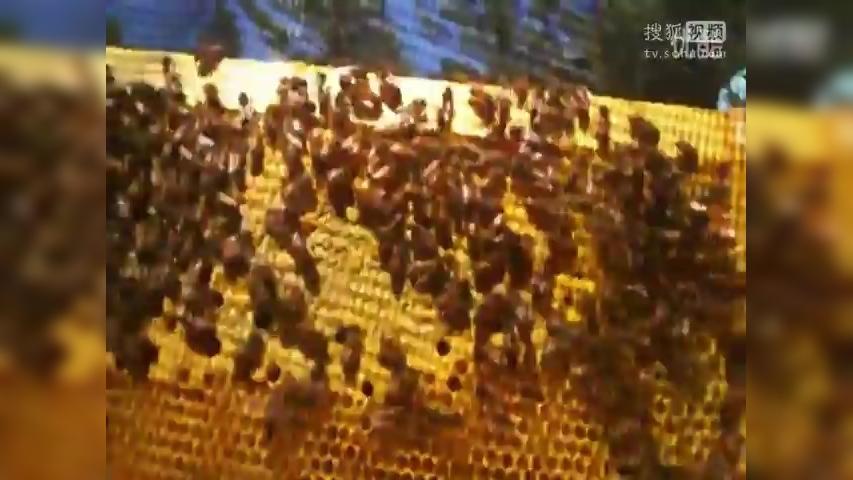 中华小蜜蜂养殖技术_养蜂技术-蜜蜂秋季管理-新闻视频-搜狐视频