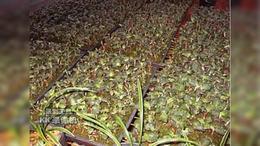 元盛堂金线莲扩大种植面积 取得更好效益