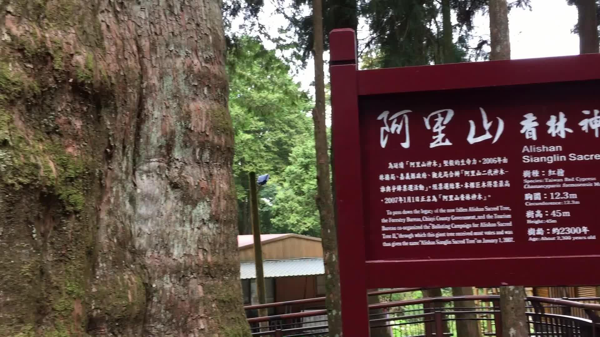 【韩小仙 迷你Vlog】在路上长大,阿里山的千年老树 004