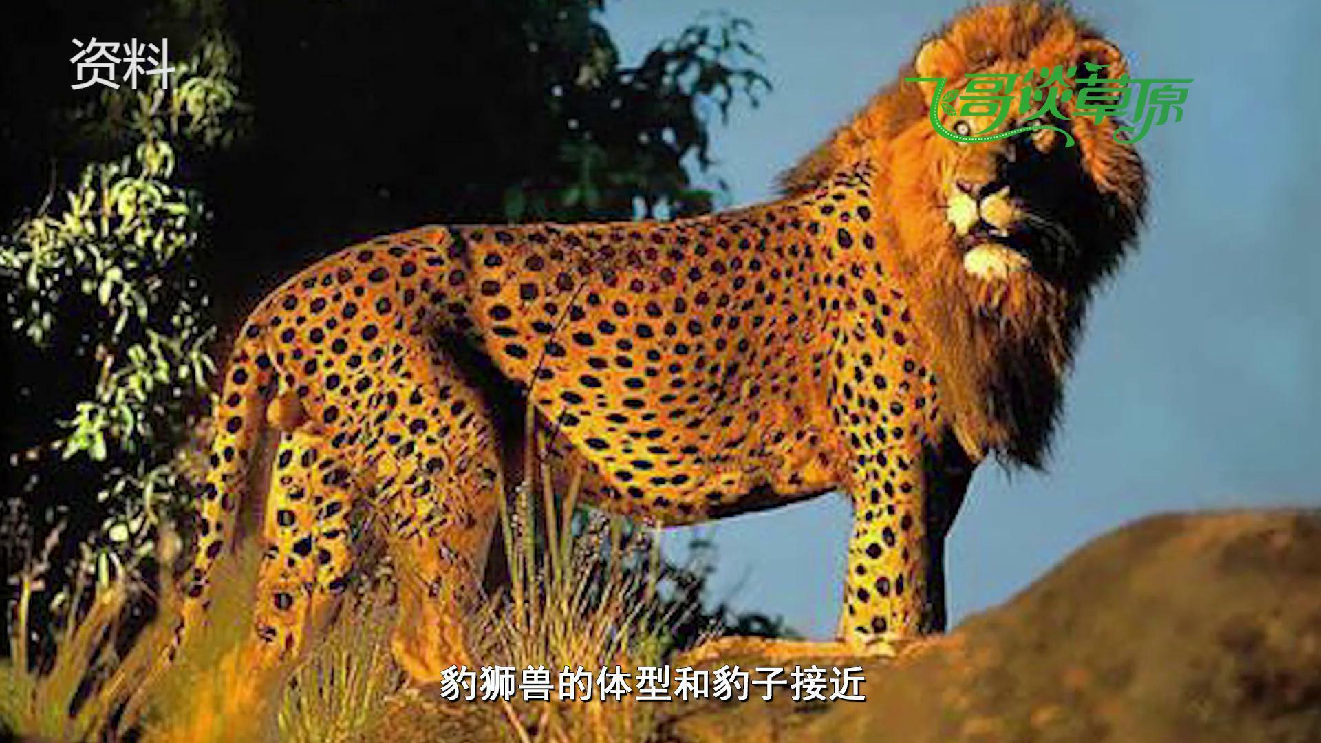 人与动物做爱1715ia{0_日本动物园出现豹狮兽,把雌狮麻醉后,让雄豹与其交配产生